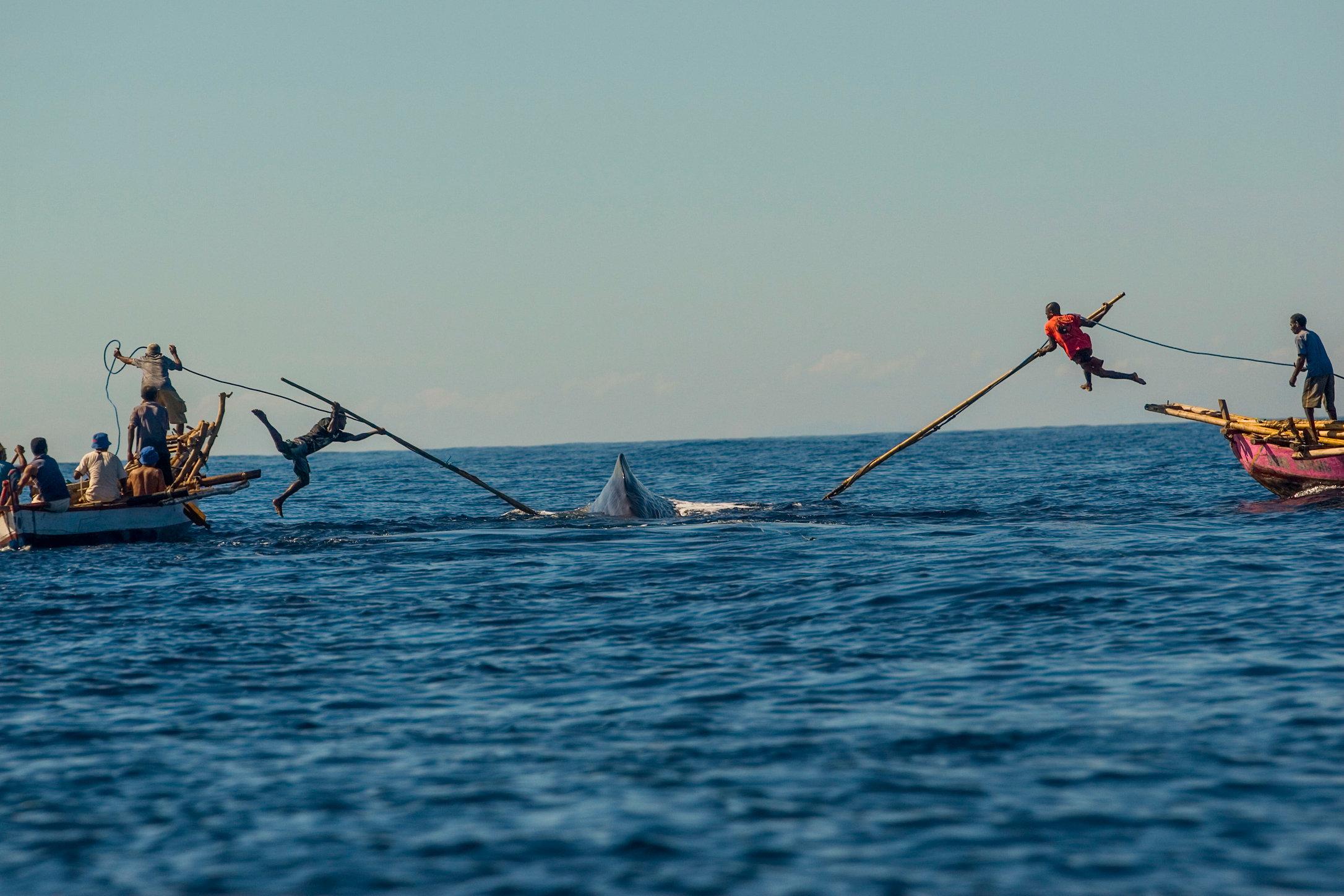 Samarbejde har været vejen frem for det moderne menneske. Her er det hvalfangere fra Lamelera i Indonesien, der arbejder sammen for at fange føde – en kaskelothval. (Foto: Ardiles Rante)