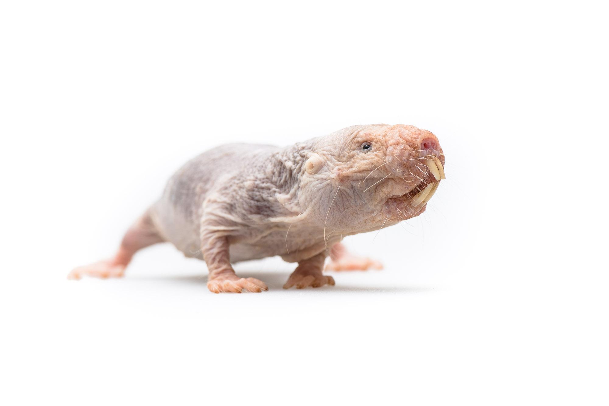 Kan vi finde en nøgle til kræftens gåde i den nøgne ørkenrotte fra Afrika? Den er et af jordens mest særprægede pattedyr med dens ekstreme fysiologiske tilpasningsevne. Selvom de ikke er meget større end mus, kan de blive mere end 35 år gamle uden at blive ramt af kræft. Tilmed er de ikke i stand til at føle smerte og de er bedre til at overleve iltmangel end alle andre pattedyr. (Foto: Brian Rasmussen, Randers Regnskov)