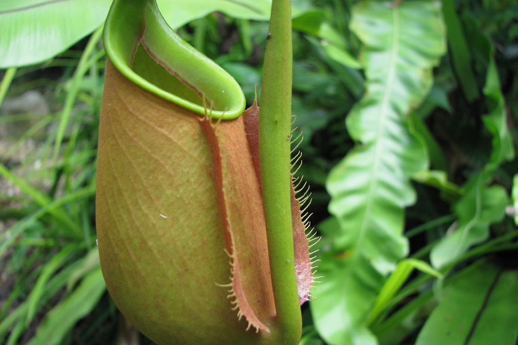Planten kandebærer kan skifte sin overflade fra ru til ultra-glat og derved lede insekterne ned i dens kande hvor planten spiser dem. Denne egenskab har forskere brugt til at lave en helt ny slags overflader, hvis egenskaber ligeledes kan ændres fra ru til super-glatte. (Foto: Richard W. Sinyem)