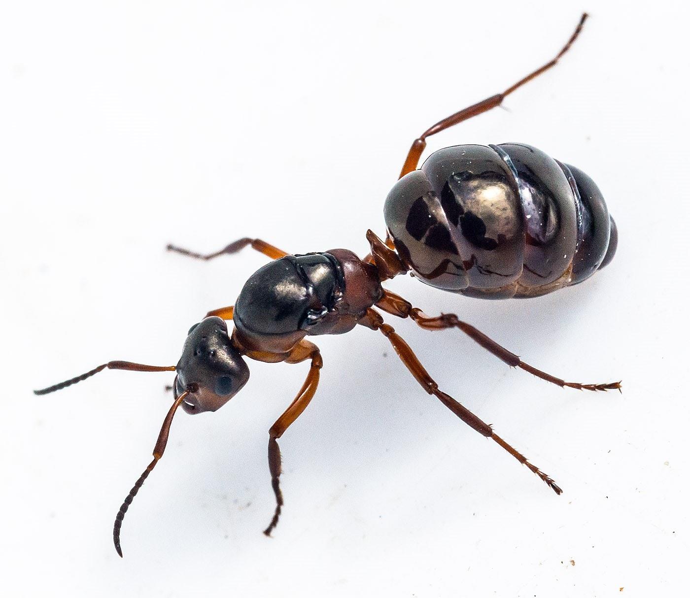 Hos skovmyrerne er dronningen koloniens æglægningsorgan. Hun er både det hunlige og hanlige kønsorgan i superorganismen, fordi hun gemmer hanners sæd i årevis i en specialdesignet kirtel. (Foto: Jens Henrik Petersen)