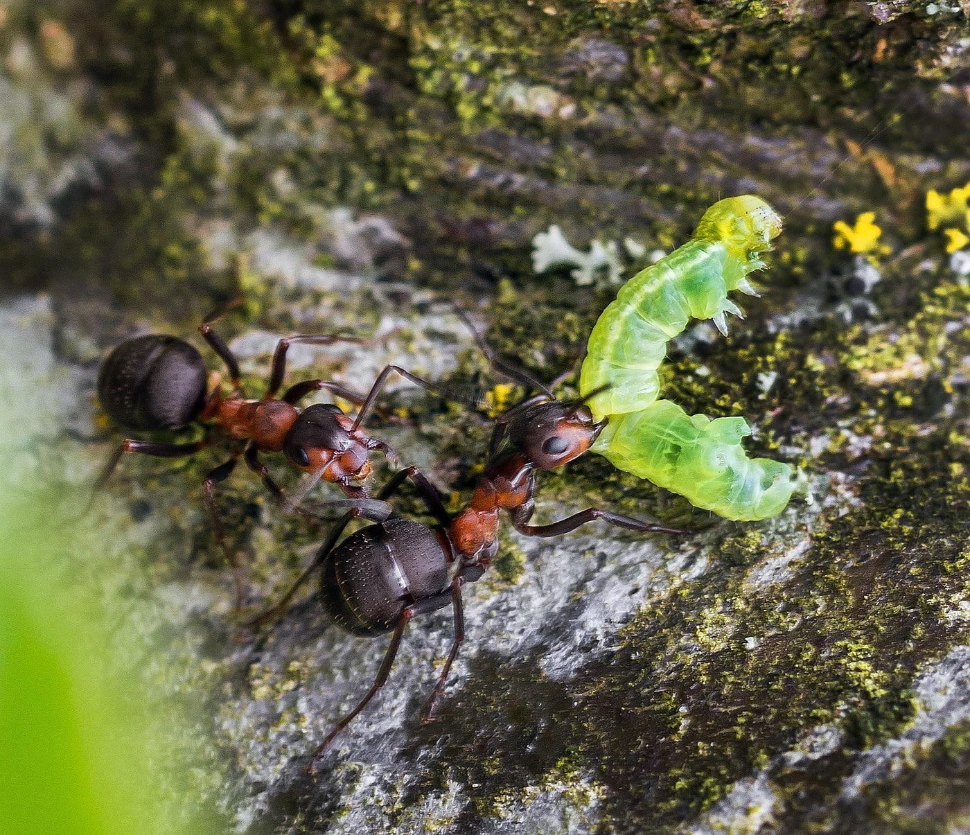 Skovmyrerne finder skadedyr på æbletræer og bærer dem hjem for at æde dem. Det er bæredygtig plantebeskyttelse uden sprøjtegifte, da larverne ellers æder kolossale mængder af frugttræernes knopper og dermed nedsætter mængden af frugt. (Foto: Jens Henrik Petersen)