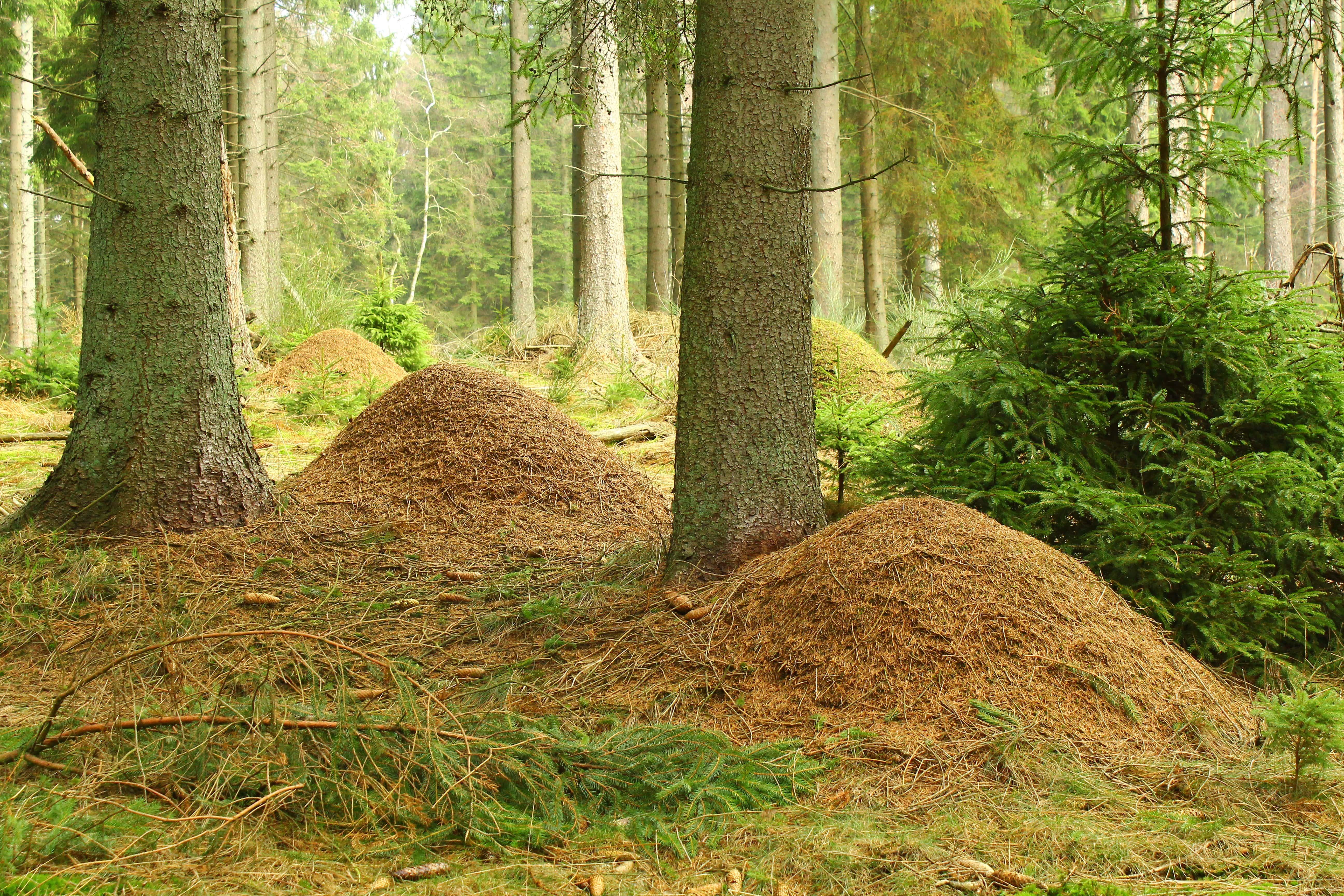 En tue med skovmyrer indeholder typisk et par hundredetusinde myrer, som samlet set vejer et par kg. Forskerne arbejder med at flytte myrerne ind i frugtplantager, hvor de tester om myrerne kan kontrollere skadedyr og plantesygdomme. (Foto: Jesper Stern Nielsen)