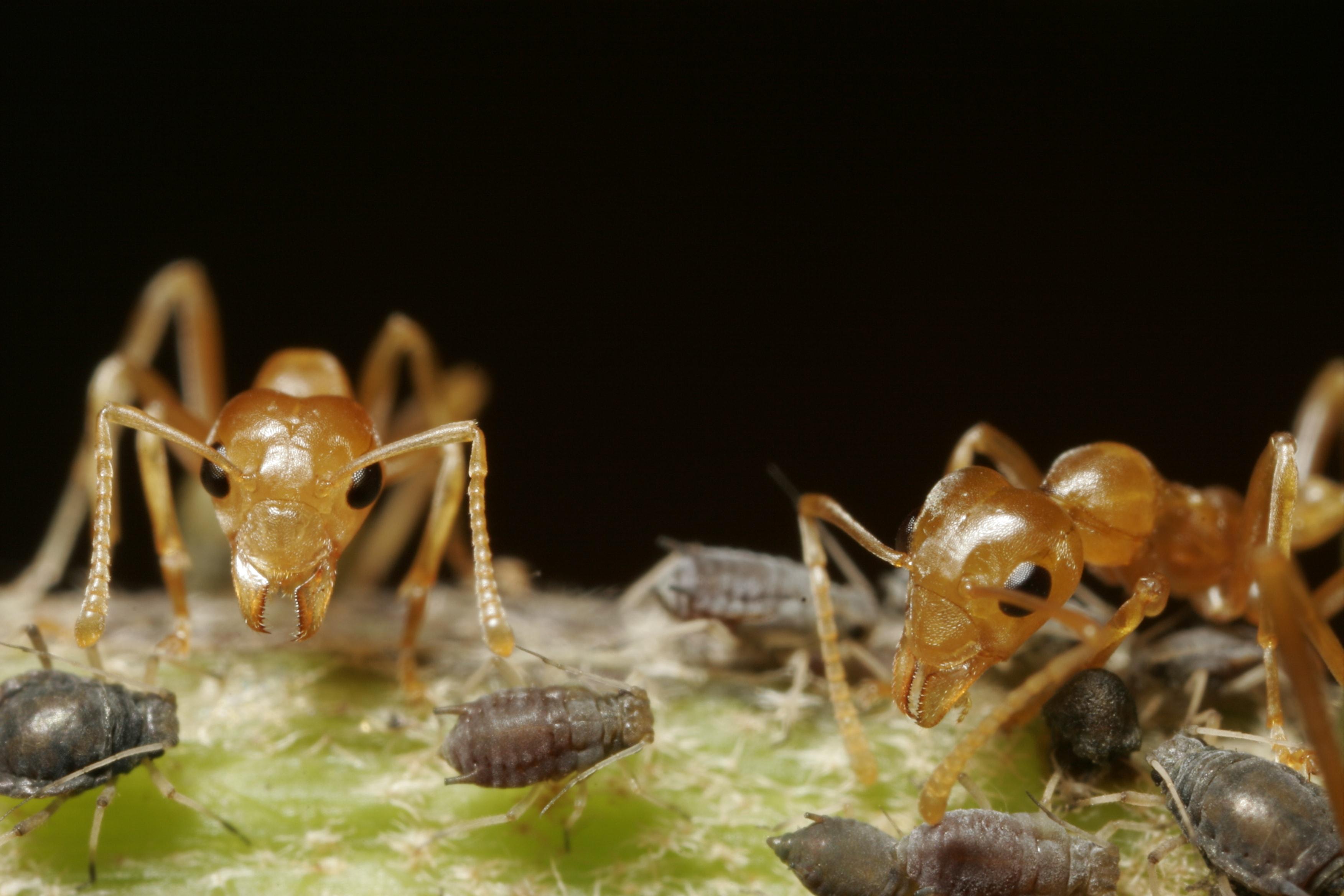 Vævermyrer spiser insekter når de vandrer rundt træer og buskes kroner og afsætter samtidig en række fækalier der er fulde af næringsstoffer som planten kan optage og bruge direkte. (Foto: Kim Aaen, NatureEyes)