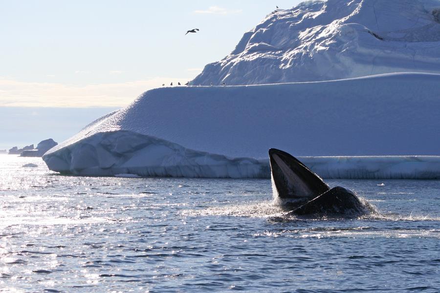 Nogle hvaler kan sulte i mere end et halvt år mens de tærer på deres fedtreserver, men til gengæld kan de på kort tid indtage enorme måltider. Denne grønlandske pukkelhval kan på få sekunder opsluge en fiskestime og mere end 30 ton vand i en mundfuld. (Foto: Malene Simon)